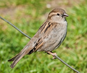 House_Sparrow,_England_-_May_09